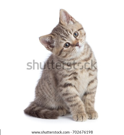 Sitting young cat full length looking with great attention isolated