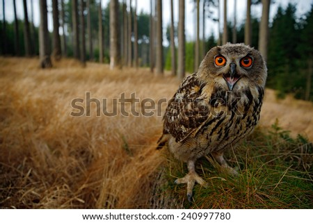 Sitting young Eurasian Eagle Owl on moss tree stump with in forest habitat, wide angle lens photo  - stock photo