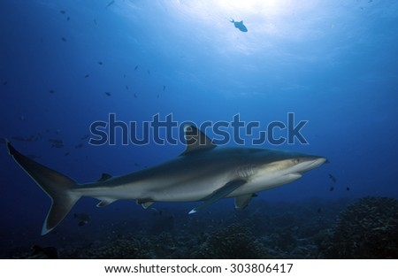 SIVERTIP SHARK SWIMMING UNDER THE REEF