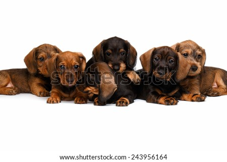 Six Dachshund puppies lies on white background - stock photo