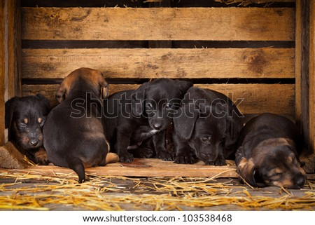 six dachshund puppies 3 weeks old purebred over wooden  background - stock photo
