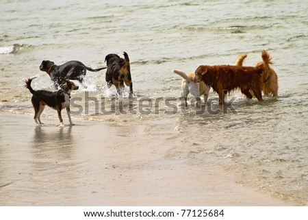 Six dogs of different breeds playing together in the ocean in California - stock photo