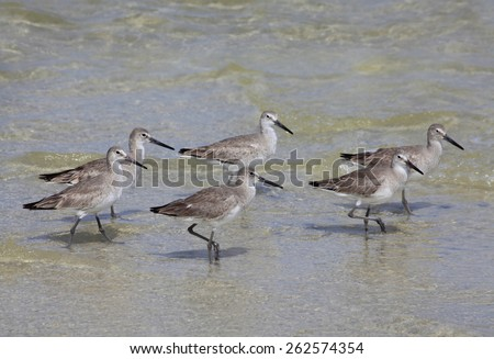 Six Durlin Water Fowl Wading in the Shallows of the Gulf of Mexico - stock photo