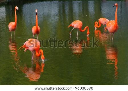 Six flamingos feeding in a pool - stock photo