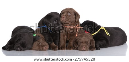 six labrador retriever puppies on white - stock photo