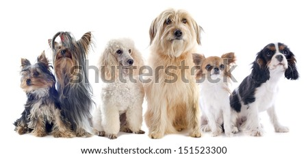 six little dogs in front of a white background - stock photo