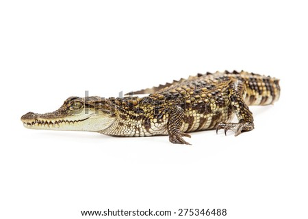 Six month old baby Siamese Crocodile, a red-listed critically endangered species laying on a whitebackground - stock photo
