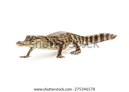Six month old baby Siamese Crocodile, a red-listed critically endangered species, walking forward on a white background. - stock photo