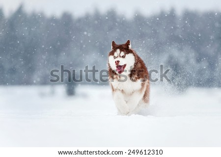 Six-month puppy Siberian husky chocolate color running on snow background - stock photo