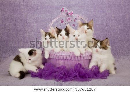 Six Norwegian Forest Cat kittens sitting inside purple tutu decorated basket on light purple background