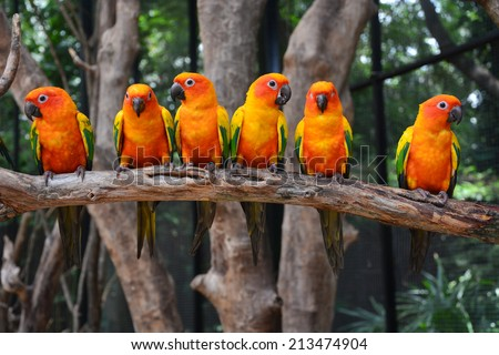Six of Sun Conure Parrot bird perching on a branch - stock photo