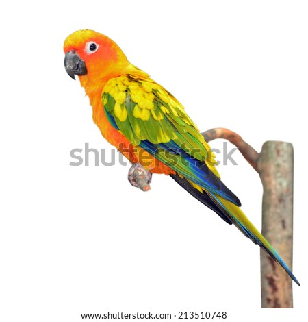 Six of Sun Conure Parrot perching on a branch, white background