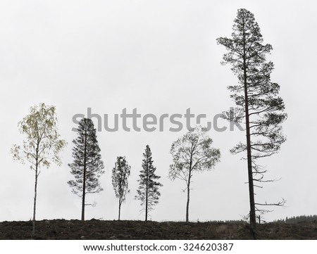six pine and birch trees on clearing in scandinavian forest