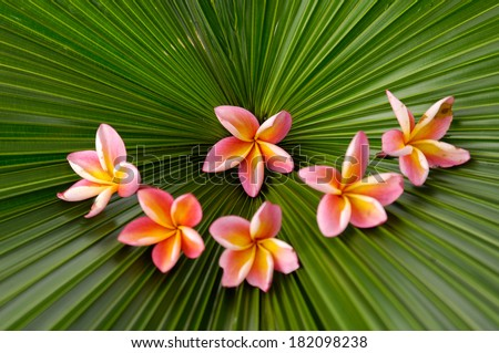 Six plumeria and palm leaf background  - stock photo