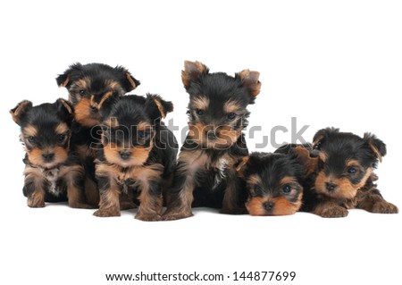 Six puppies of the Yorkshire Terrier isolated on white