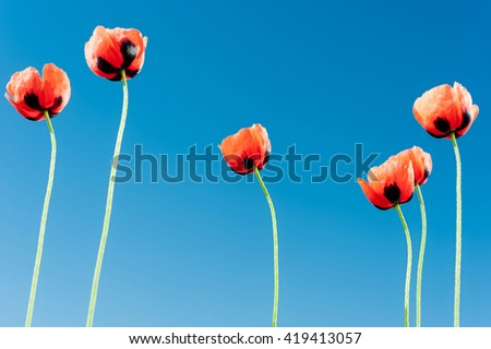 Six red wild poppies, blue sky background