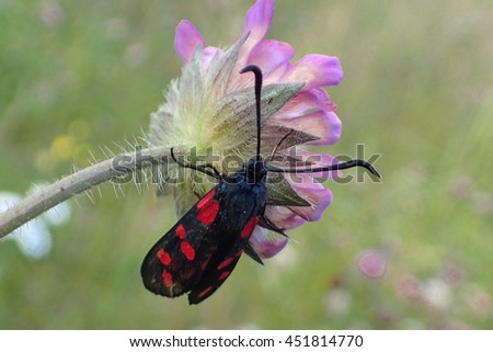 Six-spot Burnet (Zygaena filipendulae). Insect sitting on a flower in a green meadow. A butterfly with red spots, six on each wing. Poisent and tasting bad for the birds. - stock photo