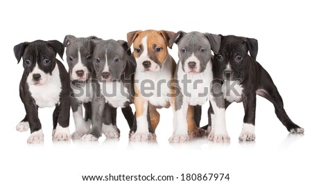 six staffordshire terrier puppies together - stock photo