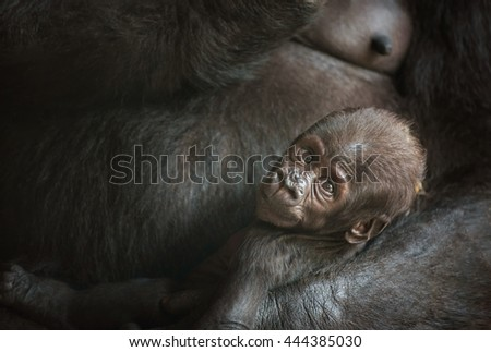 Six-week-old baby of a  Western lowland gorilla - stock photo
