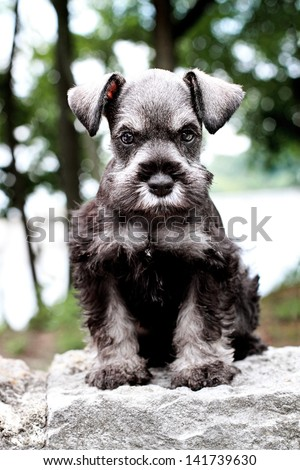 Six week old salt and pepper Mini Schnauzer sitting outside. Extreme shallow depth of field with selective focus on puppies face. - stock photo