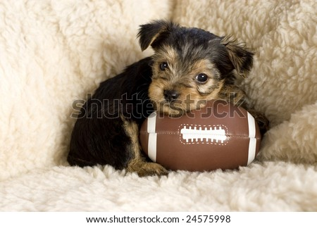 Six week old Yorkshire Terrier Puppy posing with a toy football, copy space - stock photo