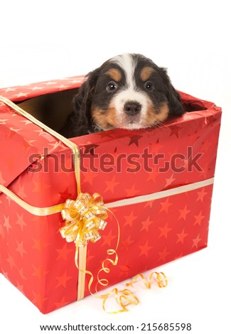 Six weeks old Bernese mountain dog puppy sitting in a christmas present - stock photo