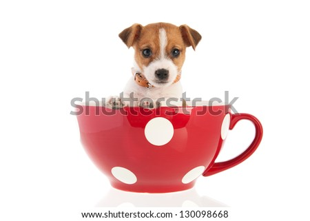 Six weeks old Jack Russel puppy dog in red dotted big coffee cup isolated over white background - stock photo