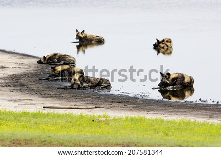 Six Wild Dogs Cooling Down in a Shallow Pond, Liuwa Plains National Park, Zambia, Africa - stock photo