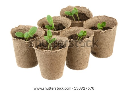 Six young fresh seedling stands in pots - stock photo