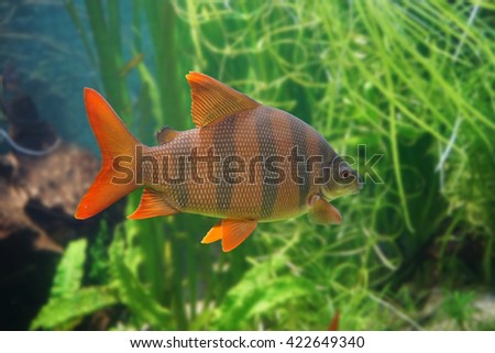 Sixbar distichodus or Zebra fish - stock photo