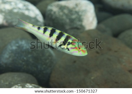 Sixbar Wrasse (Thalassoma hardwicke) on a tropical coral reef in Bali, Indonesia.