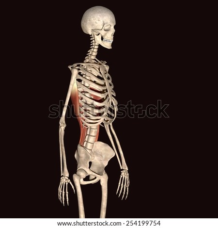 skeleton back bone muscle - stock photo