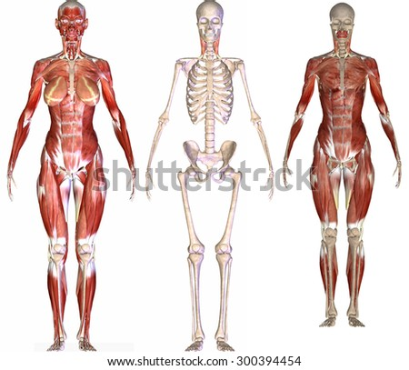skeleton body muscle