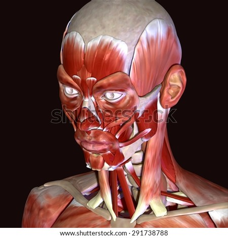 face muscles stock images, royalty-free images & vectors, Cephalic Vein