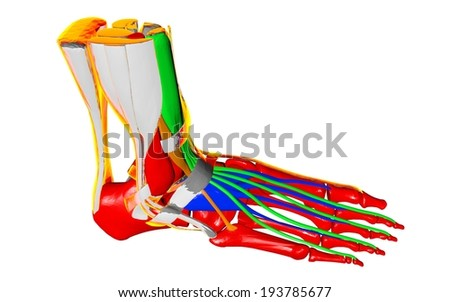 Skeleton, human foot ,blood vessels and muscle