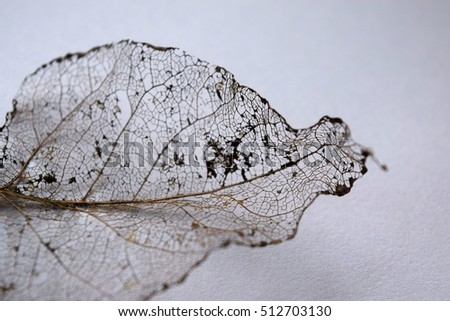 Skeleton leaf white background