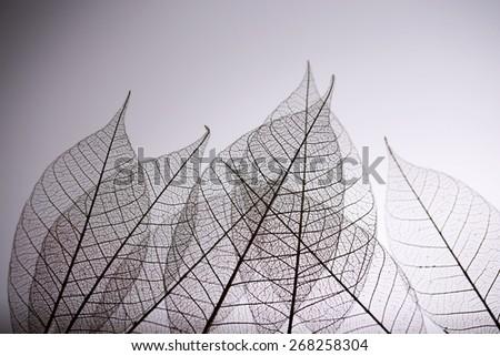 Skeleton leaves on grey background, close up - stock photo