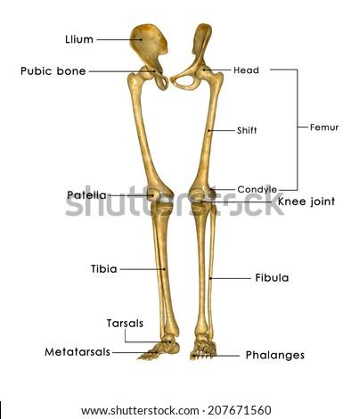 human skeleton anatomy hip femur joints stock illustration, Skeleton