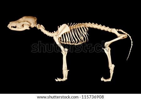 Skeleton of dog on black background - stock photo