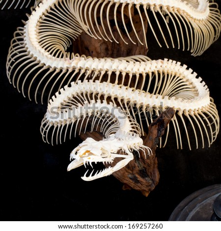 Skeleton of python isolated on back - stock photo