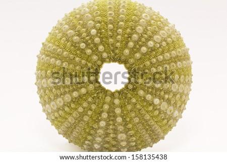 skeleton of sea shell green  echinoidea isolated on white background- macro - stock photo