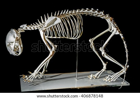 skeleton on a cat - stock photo