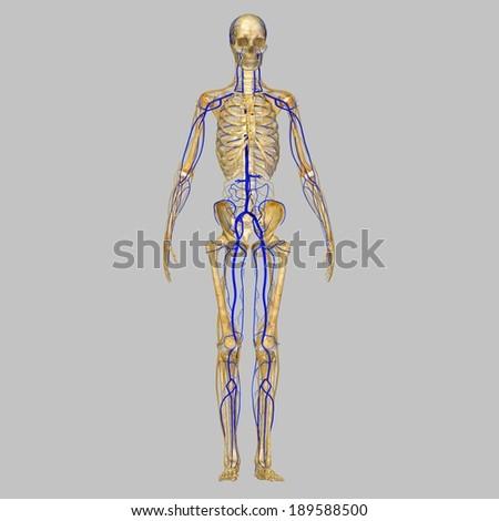 Skeleton with veins - stock photo