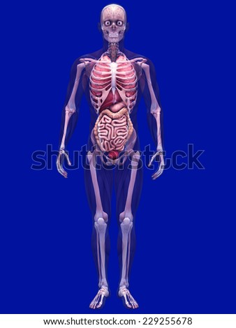 Skeleton X-Ray with Muscles and Internal Organs - X-Ray of a male skeleton with internal organs and muscles showing. 0 Degree Pose - stock photo