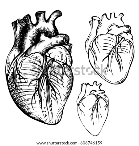 Sketch Ink Human Heart Engraved Anatomical Stock Illustration