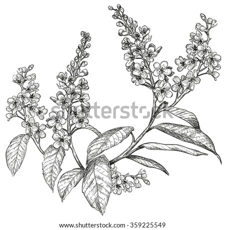 Sketch Of Spring Flowers Bird Cherry Tree Raster Version