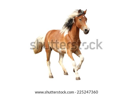 Skewbald horse galloping free isolated on white background - stock photo