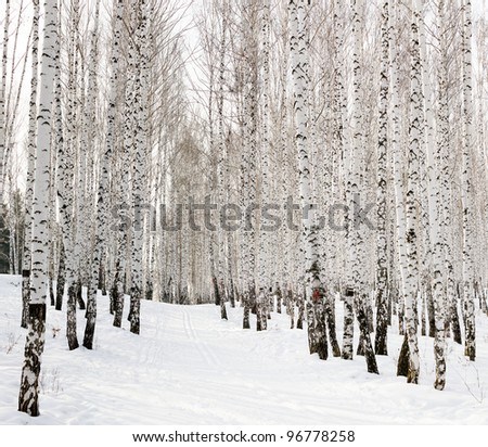 Ski run in a winter birch forest - stock photo