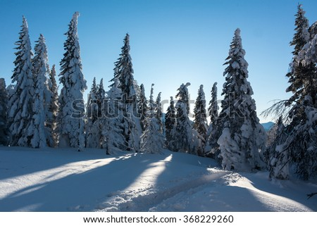 Ski track passing among the snow-covered firs