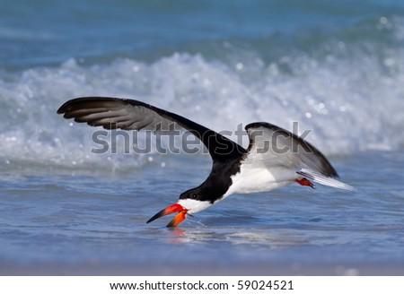 Skimmer Feeding on the Gulf Coast - stock photo